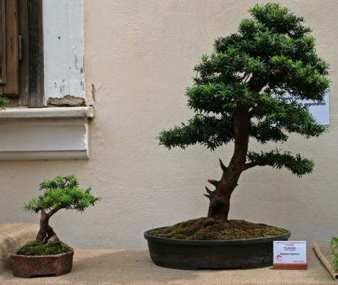 Bonsai vystava